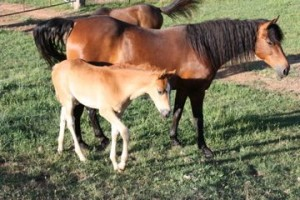 Morgan Filly Giaginya - means: pleased to see you